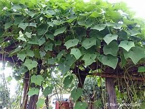 Pflanze Große Blätter : chayote fak maew ein gem se birnenf rmig und faltig ~ Avissmed.com Haus und Dekorationen