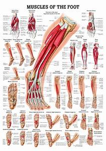 Anatomy Poster Muscles Of The Foot
