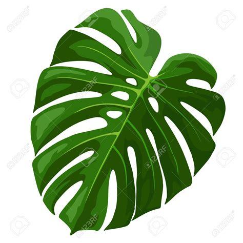 59196169tropicalleafmonsteraplantisolatedonwhite