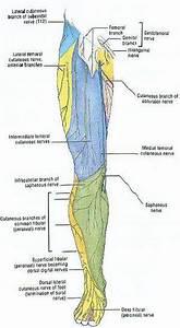 Lower Limb Cutaneous Innervation