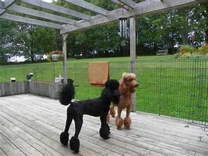 Size Of The Standard Poodle Poodle Forum Standard