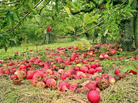 Garten Abräumen Im Herbst by Rote 196 Pfel Unter Den B 228 Umen Im Herbst Garten Gefallen