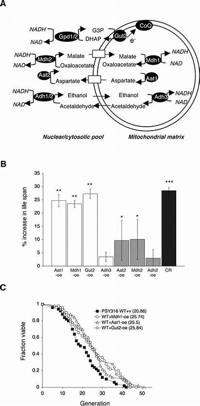 Malate Shuttle Aspartate Longevity Metabolic Nadh Yeast