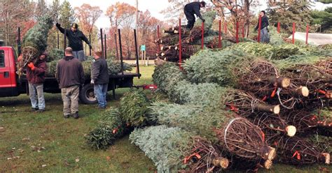 christmas trees in northern mi comes early at northern michigan tree farms