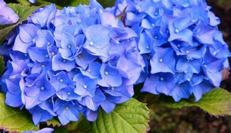 blaue hortensie sorgt fuer eine praechtige farbe im garten
