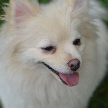 pomeranian dog wikipedia
