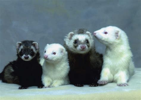 are ferrets pets ferret