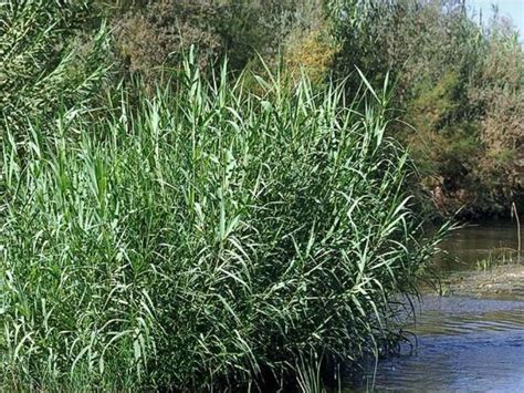 Arundo donax Profile – California Invasive Plant Council