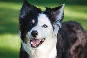 Smartest Border Collie Breed