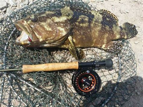 grouper fly goliath catches caught smaller sure past another