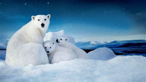 White Polar Bear With Two Cubs Small Desktop Wallpaper