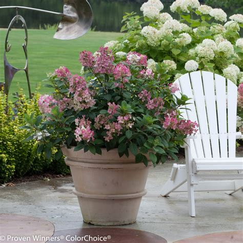 can i grow shrubs in containers proven winners