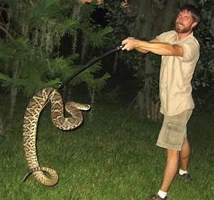 17 Best Images About Eastern Diamondback Rattlesnake On