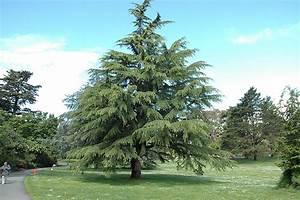 Deodar Cedar (Cedrus deodara) in Columbus Dublin Delaware