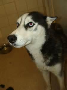 Husky Animal Shelter Dogs