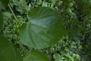 Round Leaf of a Littleleaf Linden Tree | ClipPix ETC ...