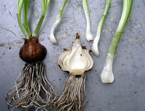 bulbs corms rhizomes and tubers