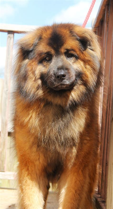 chow chow pitbull mix puppies dogs  love pinterest