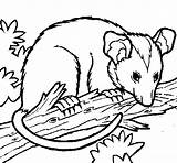 Possum Coloring Opossum Drawings Pages Pencil Disney Coloringcrew Animals Drawing Colouring Cute Draw Baby Links Getcoloringpages Animal Australian Clipart Tree sketch template