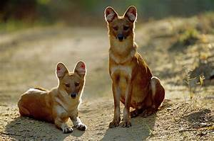 The dhole (Cuon alpinus), is also called the Asiatic wild ...