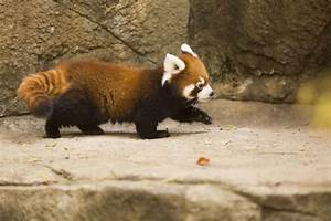 VIRAL: Watch Cutest Red Panda in the World Being Adorable ...