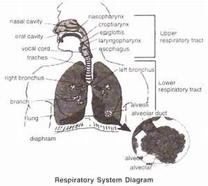 Diagram Of Human Respiratory System