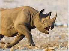 Rinocerontes corriendo Imágenes y fotos
