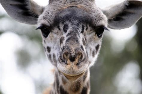 baby giraffe face  stock photo public domain pictures