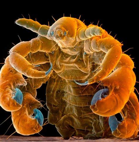 CRAB LOUSE | Insectos raros, Tardigrados, Fotografía ...