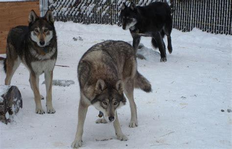 wolf hybrids  call   semi wild anchorage daily news