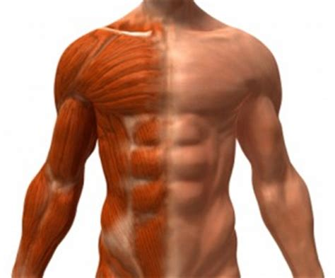 How Bigger Muscles Will Slow You Down And Gas You Out In