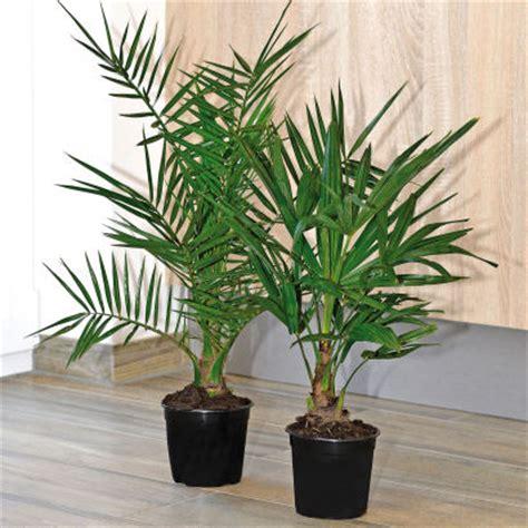 palmier en pot pour balcon palmier aldi archive des offres promotionnelles