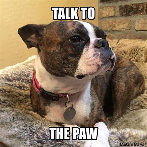 Boston Terrier Meme - 61 best boston terrier memes dogs and puppies too images on pinterest boston terrier