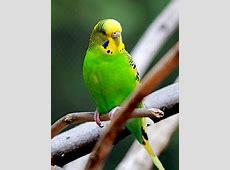 Parakeet Wikipedia