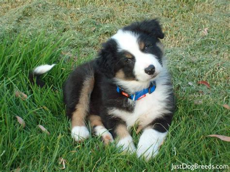 mini aussie non shedding small non shedding breeds australian breeds list a
