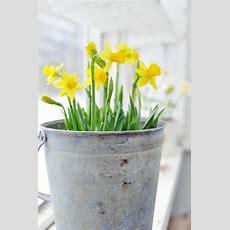 Die Narzissen  Sonnige Frühlingsblumen