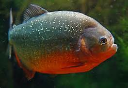 Red Belly Piranha Teet...