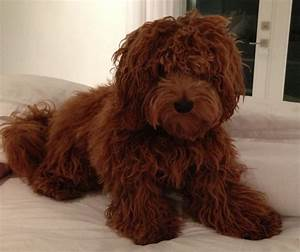1000+ images about Goldendoodle...someday! on Pinterest ...