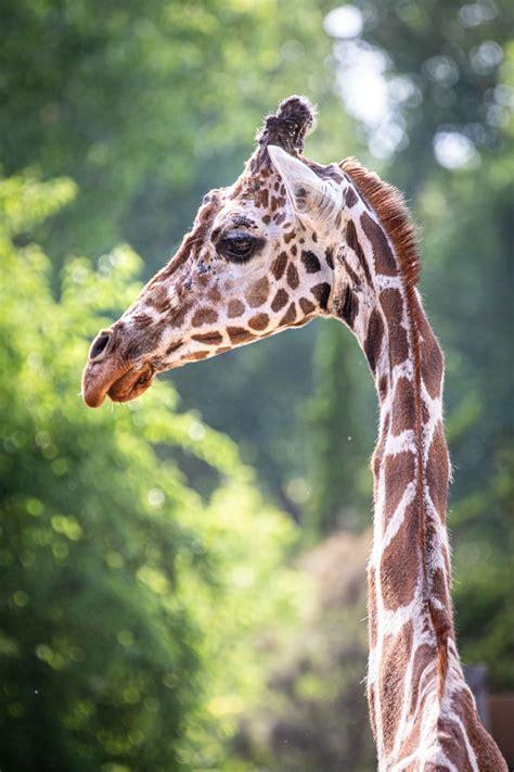 giraffe  sedgwick county zoo dies