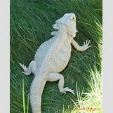 Leucistic Bearded Dragon | 407 x 500 jpeg 54kB