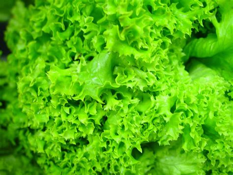 picture hydroponic lettuce leaves green
