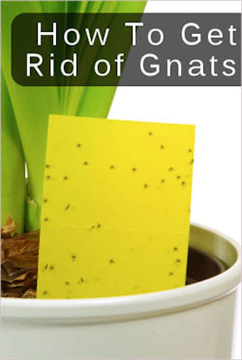potent sprays   fighting gnats