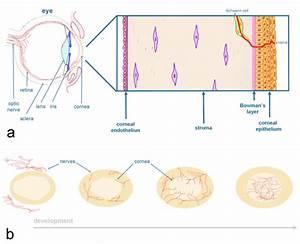 Schematic Representation Of The Cornea  The Stratified