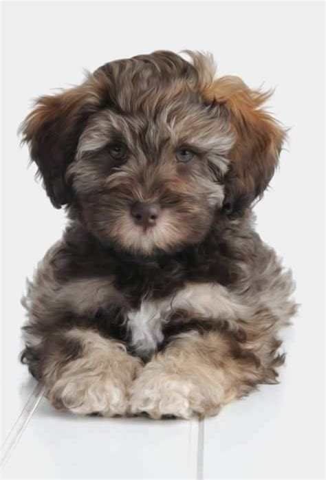 This a beautiful Teddy Bear Schnoodle   Yelp