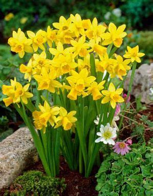 narcissus narcissus specialty tete  tete  netherland bulb