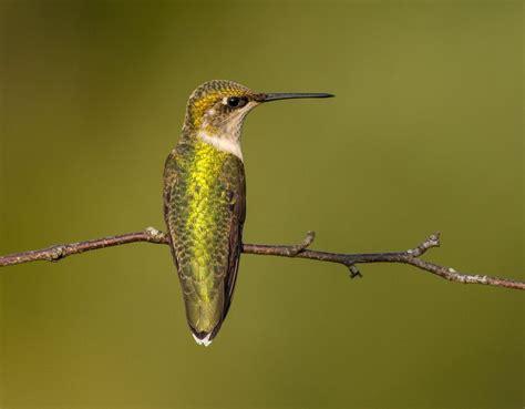 canadian wildlife federation ruby throated hummingbird