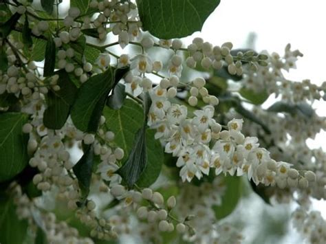 a tree with white flowers 17 best images about small spring flowering trees on pinterest trees white flowers and in the