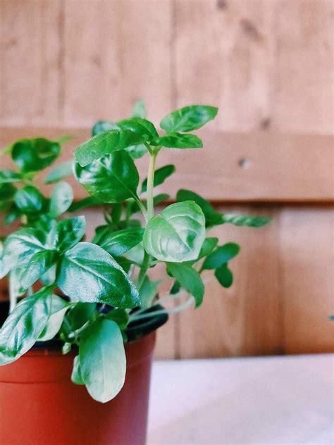 basilico in vaso come coltivare il basilico tutto l anno in casa o all aperto