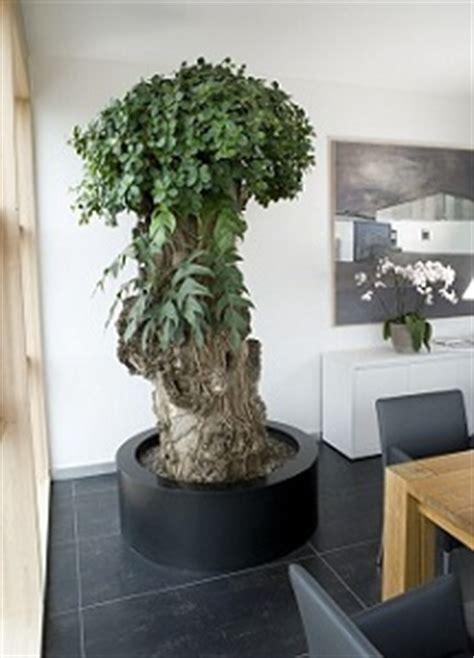 Innenraumbegrünung Raumbepflanzung Großen Baum Drinnen
