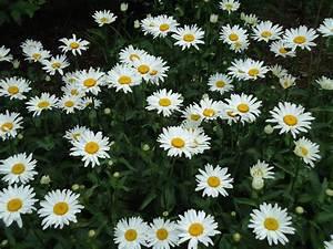 daisy | Terri&#... Daisy